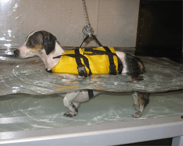 Figure 10. A postoperative IVDD patient rehabilitating in an underwater treadmill. Courtesy of Angie Faver, BSPT, North Texas Animal Rehabilitation, http://northtexasanimalrehab.com