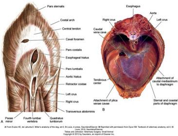 Diaphragmatic Hernia