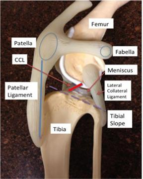 Figure 1 – Stifle (knee) Anatomy